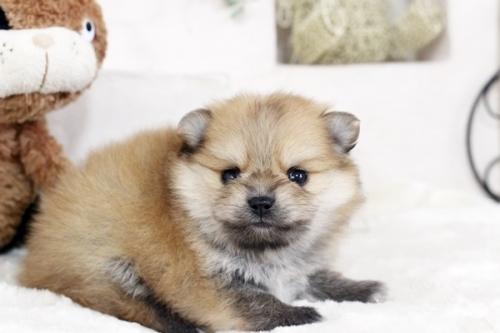 ポメラニアンの子犬(ID:1255411214)の2枚目の写真/更新日:2018-08-24