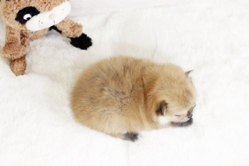 ポメラニアンの子犬(ID:1255411214)の4枚目の写真/更新日:2018-08-24