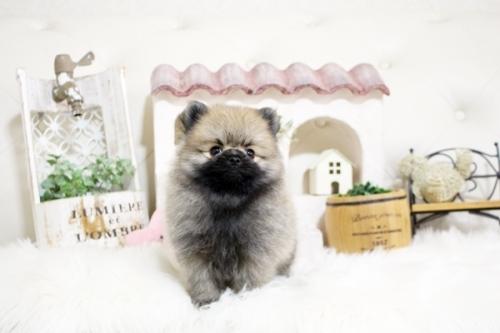 ポメラニアンの子犬(ID:1255411215)の1枚目の写真/更新日:2018-08-24