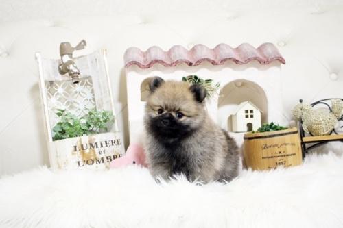 ポメラニアンの子犬(ID:1255411215)の3枚目の写真/更新日:2018-08-24