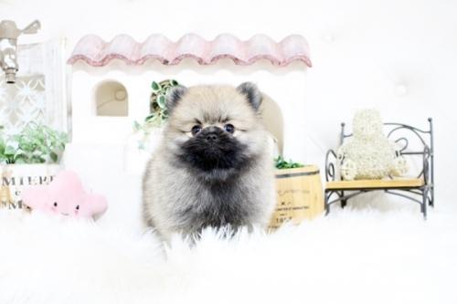 ポメラニアンの子犬(ID:1255411215)の4枚目の写真/更新日:2018-08-24