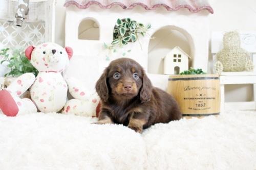 カニンヘンダックスフンド(ロング)の子犬(ID:1255411216)の1枚目の写真/更新日:2018-07-24