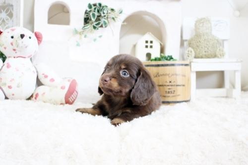 カニンヘンダックスフンド(ロング)の子犬(ID:1255411216)の2枚目の写真/更新日:2018-07-24