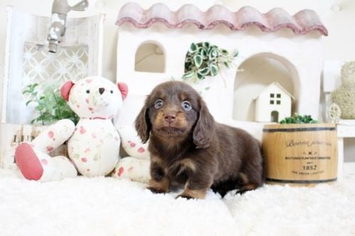 ポメラニアンの子犬(ID:1255411216)の3枚目の写真/更新日:2018-07-10