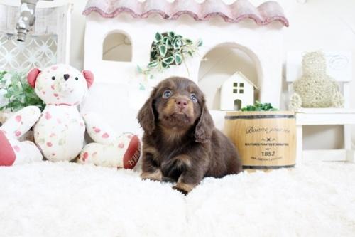 カニンヘンダックスフンド(ロング)の子犬(ID:1255411216)の4枚目の写真/更新日:2018-07-24