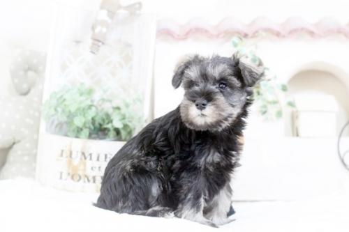 ミニチュアシュナウザーの子犬(ID:1255411233)の1枚目の写真/更新日:2020-03-28