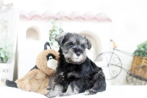 ミニチュアシュナウザーの子犬(ID:1255411233)の2枚目の写真/更新日:2020-03-28