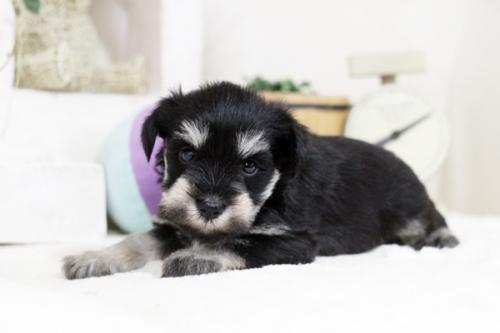 ミニチュアシュナウザーの子犬(ID:1255411234)の2枚目の写真/更新日:2021-01-25