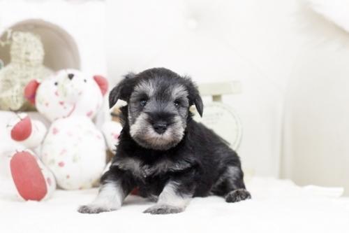 ミニチュアシュナウザーの子犬(ID:1255411235)の1枚目の写真/更新日:2018-06-01