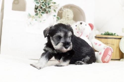 ミニチュアシュナウザーの子犬(ID:1255411235)の2枚目の写真/更新日:2018-06-01