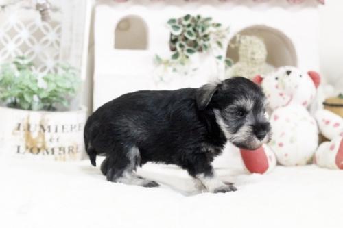 ミニチュアシュナウザーの子犬(ID:1255411235)の3枚目の写真/更新日:2018-06-01