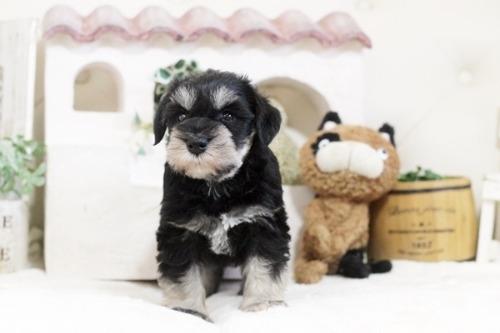 ミニチュアシュナウザーの子犬(ID:1255411236)の1枚目の写真/更新日:2018-06-01