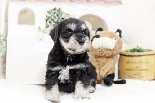 ミニチュアシュナウザーの子犬(ID:1255411236)の2枚目の写真/更新日:2021-02-05