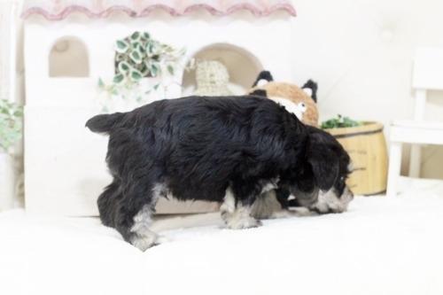 ミニチュアシュナウザーの子犬(ID:1255411236)の3枚目の写真/更新日:2018-06-01