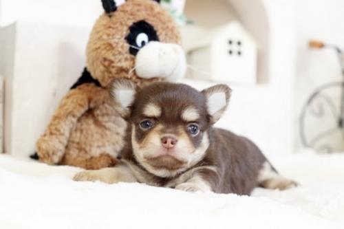 チワワ(スムース)の子犬(ID:1255411237)の1枚目の写真/更新日:2018-08-10