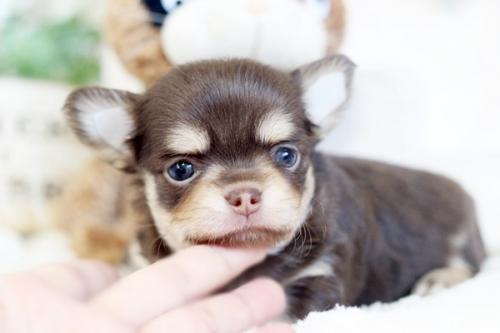 チワワ(スムース)の子犬(ID:1255411237)の3枚目の写真/更新日:2018-08-10
