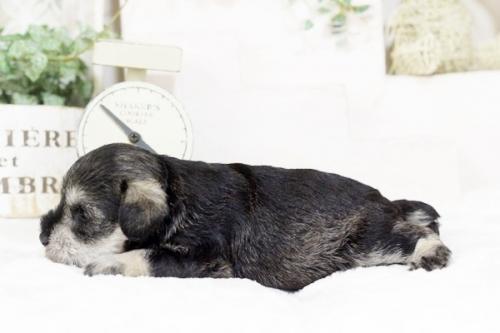 ミニチュアシュナウザーの子犬(ID:1255411240)の3枚目の写真/更新日:2018-06-01