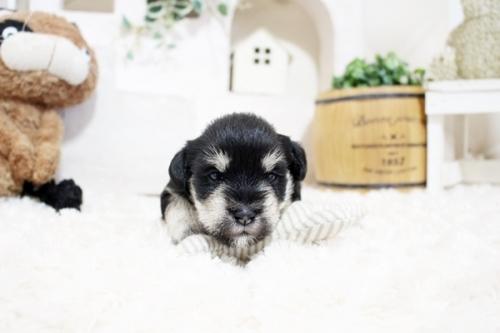 ミニチュアシュナウザーの子犬(ID:1255411241)の2枚目の写真/更新日:2018-06-28