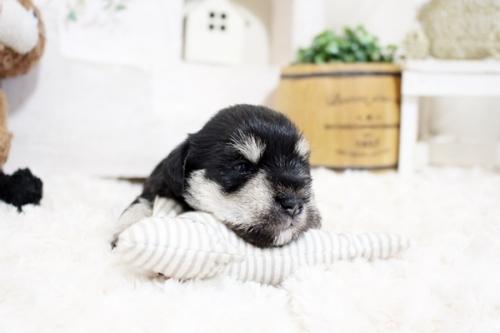 ミニチュアシュナウザーの子犬(ID:1255411241)の3枚目の写真/更新日:2018-06-28