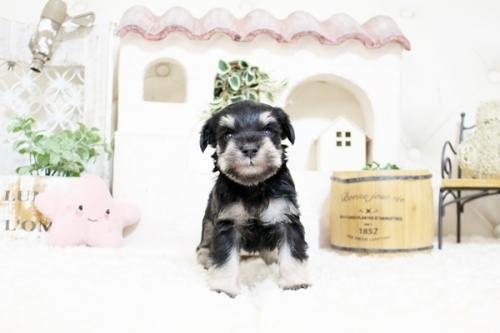 ミニチュアシュナウザーの子犬(ID:1255411242)の1枚目の写真/更新日:2018-06-28