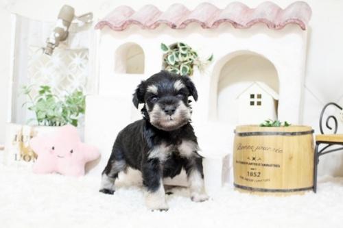 ミニチュアシュナウザーの子犬(ID:1255411242)の2枚目の写真/更新日:2018-06-28