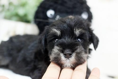 ミニチュアシュナウザーの子犬(ID:1255411243)の1枚目の写真/更新日:2018-07-10