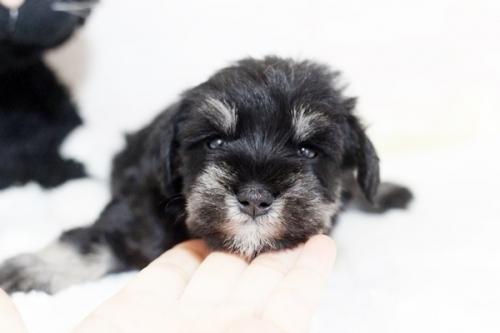 ミニチュアシュナウザーの子犬(ID:1255411243)の3枚目の写真/更新日:2018-07-10
