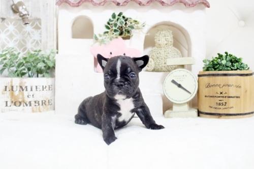 フレンチブルドッグの子犬(ID:1255411244)の1枚目の写真/更新日:2021-04-29