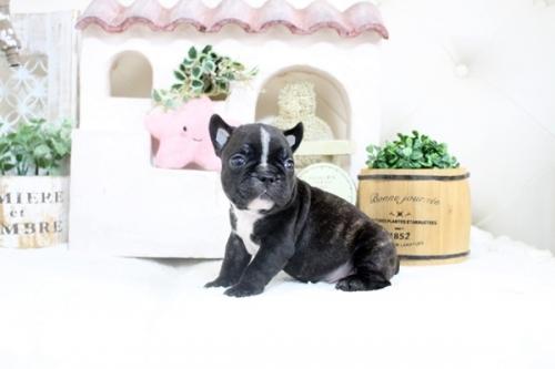 フレンチブルドッグの子犬(ID:1255411244)の2枚目の写真/更新日:2021-04-29