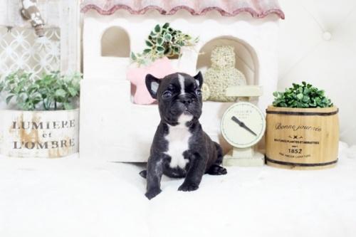 フレンチブルドッグの子犬(ID:1255411244)の3枚目の写真/更新日:2021-04-29
