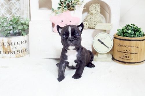 フレンチブルドッグの子犬(ID:1255411244)の4枚目の写真/更新日:2021-04-29