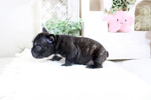 フレンチブルドッグの子犬(ID:1255411244)の5枚目の写真/更新日:2021-04-29