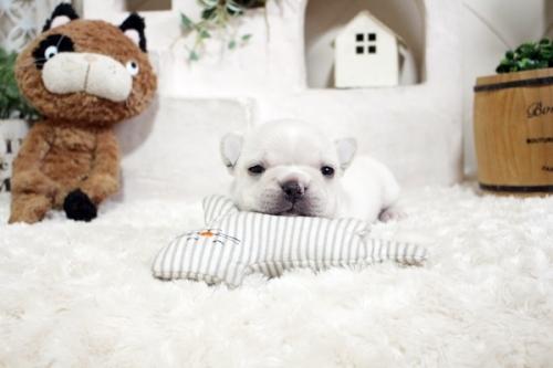 フレンチブルドッグの子犬(ID:1255411245)の1枚目の写真/更新日:2018-12-03