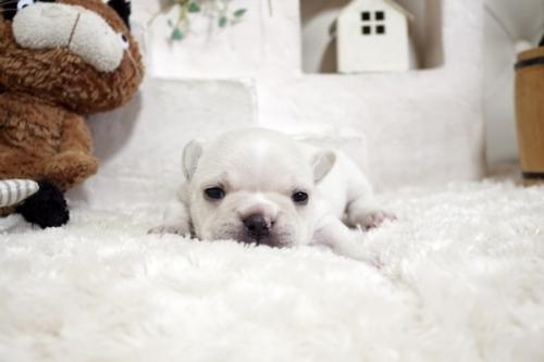 フレンチブルドッグの子犬(ID:1255411245)の2枚目の写真/更新日:2018-12-03