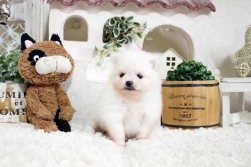 ポメラニアンの子犬(ID:1255411246)の1枚目の写真/更新日:2018-08-24