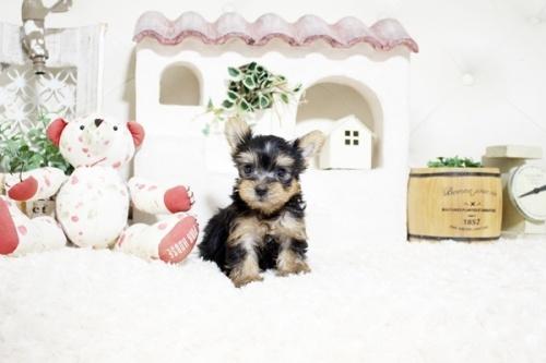 ヨークシャーテリアの子犬(ID:1255411247)の1枚目の写真/更新日:2021-08-16
