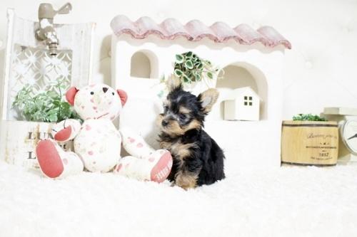 ヨークシャーテリアの子犬(ID:1255411247)の2枚目の写真/更新日:2021-08-16