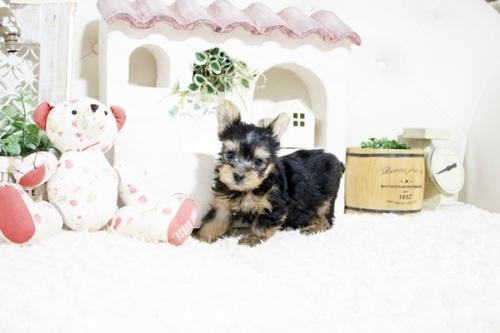 ヨークシャーテリアの子犬(ID:1255411247)の3枚目の写真/更新日:2021-08-16