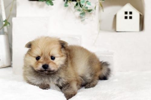 ポメラニアンの子犬(ID:1255411252)の1枚目の写真/更新日:2018-10-12