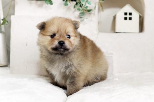ポメラニアンの子犬(ID:1255411252)の2枚目の写真/更新日:2018-10-12