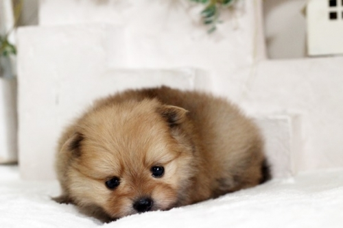 ポメラニアンの子犬(ID:1255411252)の3枚目の写真/更新日:2018-10-12