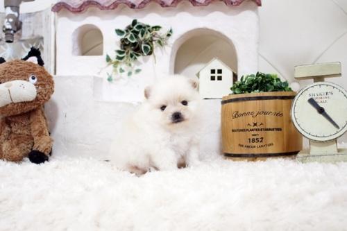 ポメラニアンの子犬(ID:1255411253)の1枚目の写真/更新日:2018-10-12