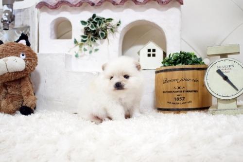 ポメラニアンの子犬(ID:1255411253)の2枚目の写真/更新日:2018-10-12