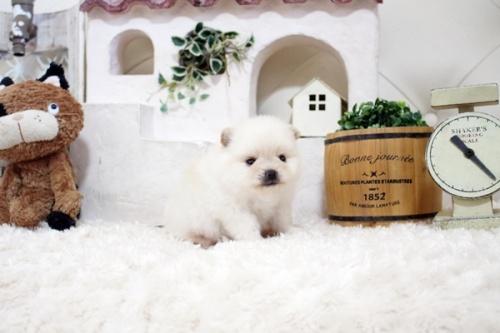 ポメラニアンの子犬(ID:1255411253)の3枚目の写真/更新日:2018-10-12