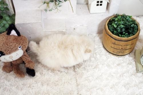 ポメラニアンの子犬(ID:1255411253)の4枚目の写真/更新日:2018-10-12