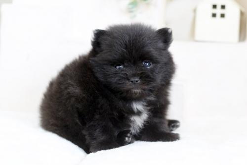 ポメラニアンの子犬(ID:1255411254)の3枚目の写真/更新日:2018-10-12