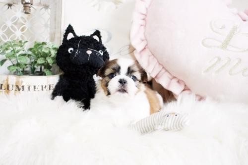 シーズーの子犬(ID:1255411257)の1枚目の写真/更新日:2020-07-06