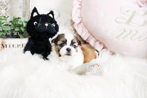 シーズーの子犬(ID:1255411257)の2枚目の写真/更新日:2020-07-06