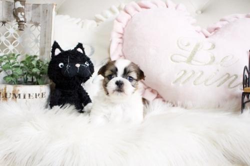 シーズーの子犬(ID:1255411257)の3枚目の写真/更新日:2020-07-06