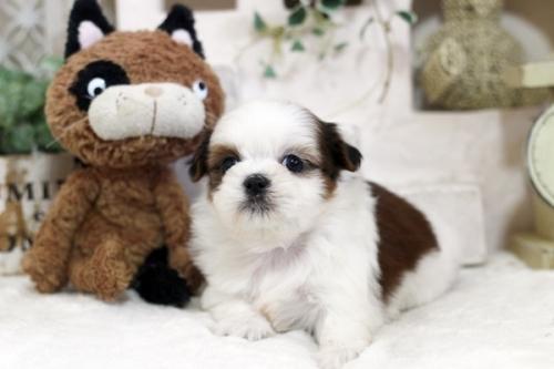 シーズーの子犬(ID:1255411258)の1枚目の写真/更新日:2019-01-11